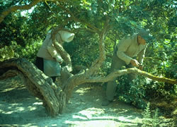Xian couple using tools to cut the tree branches to obtain the resin droplets. Space under the tree is cleared of detritus and covered with a fine chalk dust. The resin droplets fall to the ground and harden; they are collected and transported to island warehouses where the droplets are cleaned, graded, and sorted